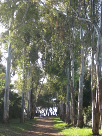 Allee des Eucalyptus